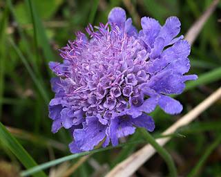 Flor morada de la escabiosa (Knautia arvensis)
