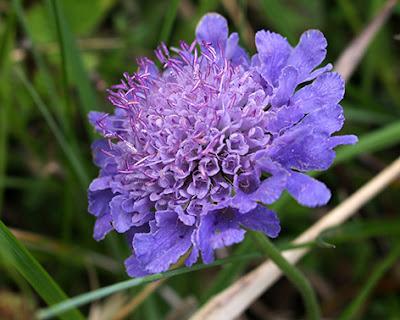 Flor morado azulada de la escabiosa (Knautia arvensis)