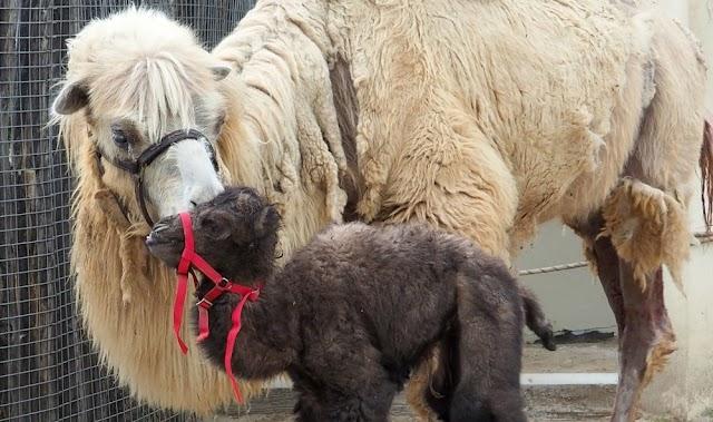 Aranyszőrű takin és tevecsikó is várja a látogatókat a Fővárosi Állatkertben