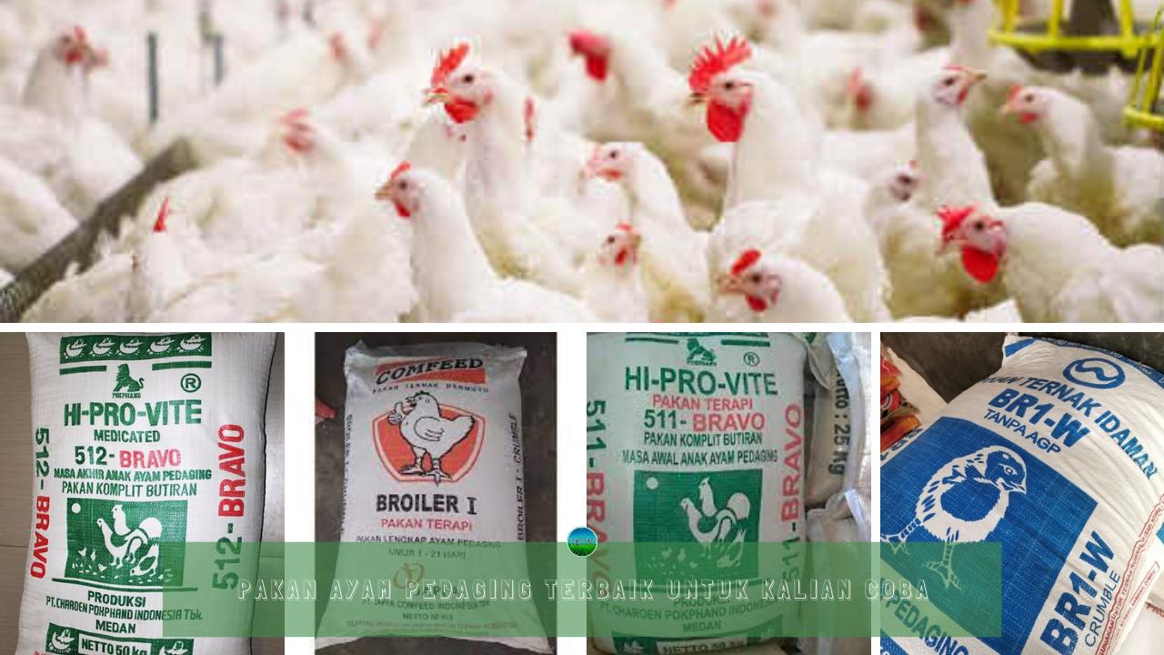 Pakan Ayam Pedaging Terbaik Untuk Kalian Coba