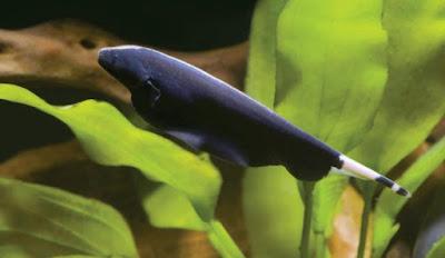 ikan blackghost