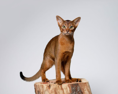 Ras Kucing Abyssinians
