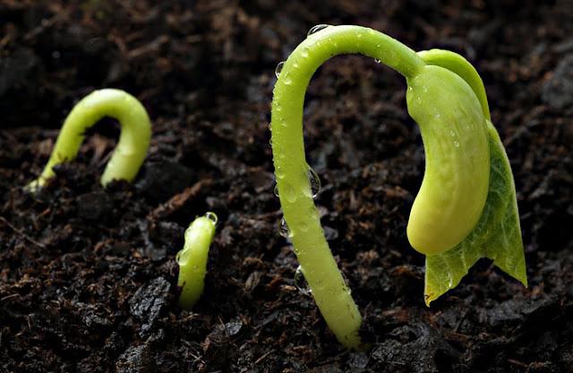 bahce_ipuclari, bitkisel, bahcecilik, yesil_parmak, viyolde uretim, kaliteli toprak, cimlenme ve buyume, bahceye asilama, domates fidesi, fide uretim, teknikleri,