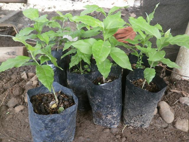jual bibit kacang amazon | manfaat kacang amazon | asal kacang amazon | cara merawat kacang amazon | budidaya kacang amazon | bibit bibit unik unggul | menanam kacang amazon | tanaman kacang amazon