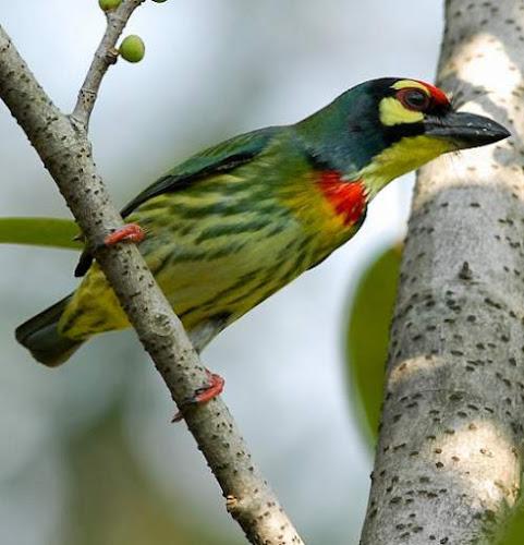 Psilopogon haemacephalus