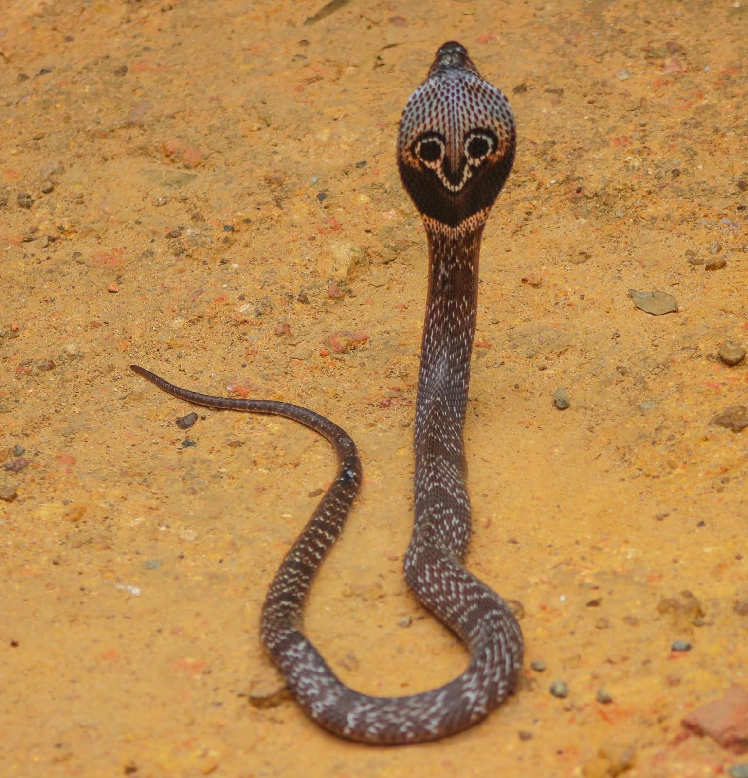 Для, смешные картинки очковая змея