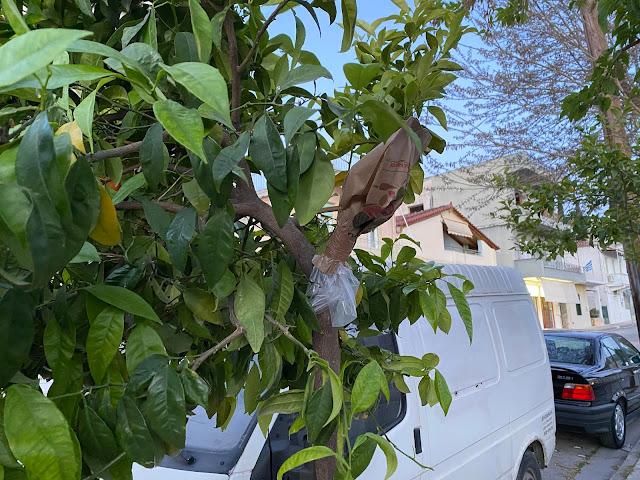 Ναύπλιο: Μπόλιασμα των Νεραντζιών στο ιστορικό κέντρο σε Λεμονιές