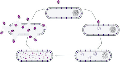 Lytic infection cycle of the bacteriophage