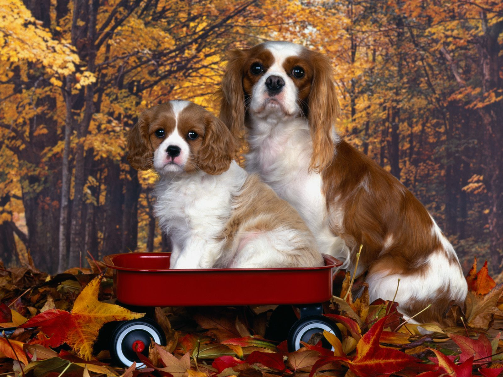 Fall Pumpkin Patch Wallpaper The Dog In World Cavalier King Charles Spaniel