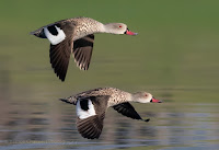 Cape Teal Ducks in Flight Diep River Woodbridge Island Canon EOS 7D Mark II Vernon Chalmers Photography