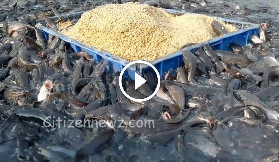 பண்ணையில் வளர்க்க படும் ஹைபிரிட் மீன்கள் – விட்டா  நம்மளையே சாப்பிட்ரும் போல