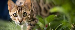 Are Bengals Hypoallergenic?