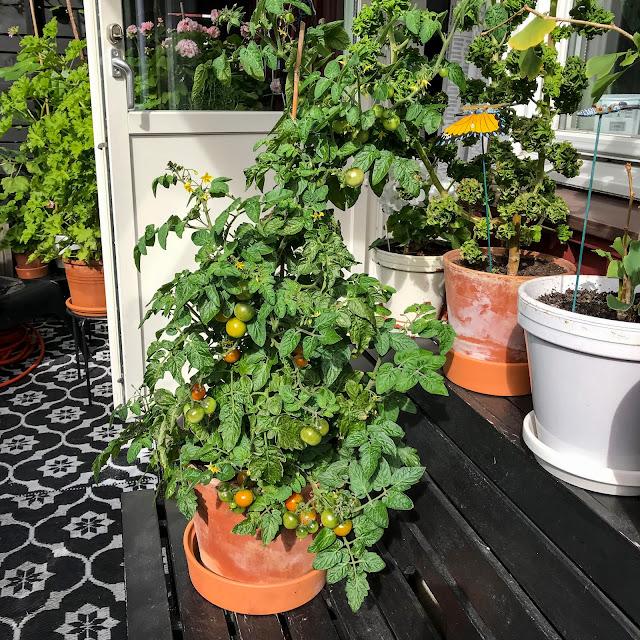 tomater, tinytim