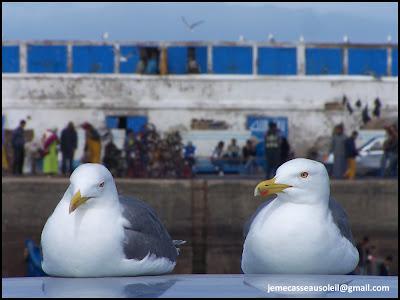 Mouettes cool à Essaouira