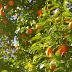 Zoneamento agrícola traz novidades sobre riscos climáticos para a cultura de citros