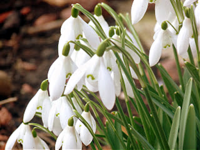 Joy of First Snowdrops