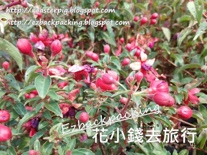 吊鐘海棠花蕾