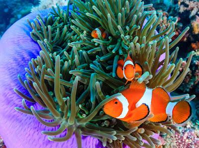 Anemon laut clownfish