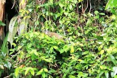 Iguana en Tortuguero