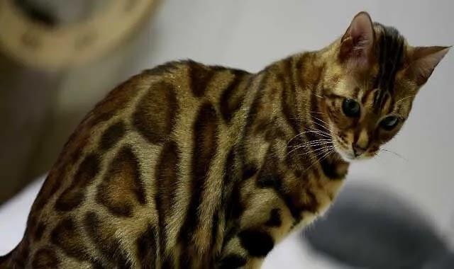 chat du bengale prix