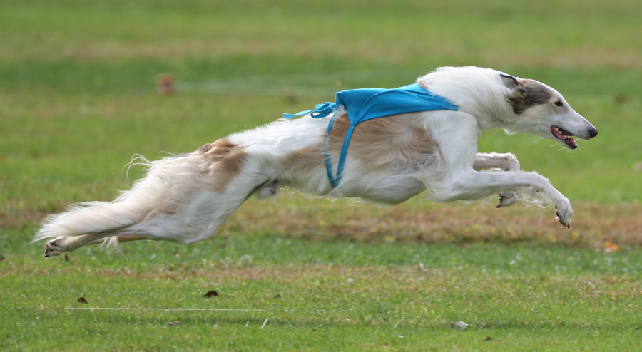 Dogs NSW Festival of the Hounds - Oct 2   Australian Dog Lover Afghan Hound Lure Coursing