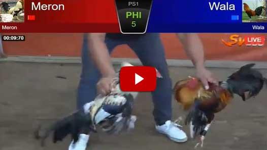 Video Seru Ayam Birma Melawan Ayam Bangkok di Arena SV388