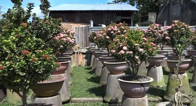 Vườn trang hồng sen của chị Đan tại Làng Hoa Sa Đéc