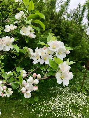 French Village Diaries covid-19 confinement day thirty-six apple blossoms