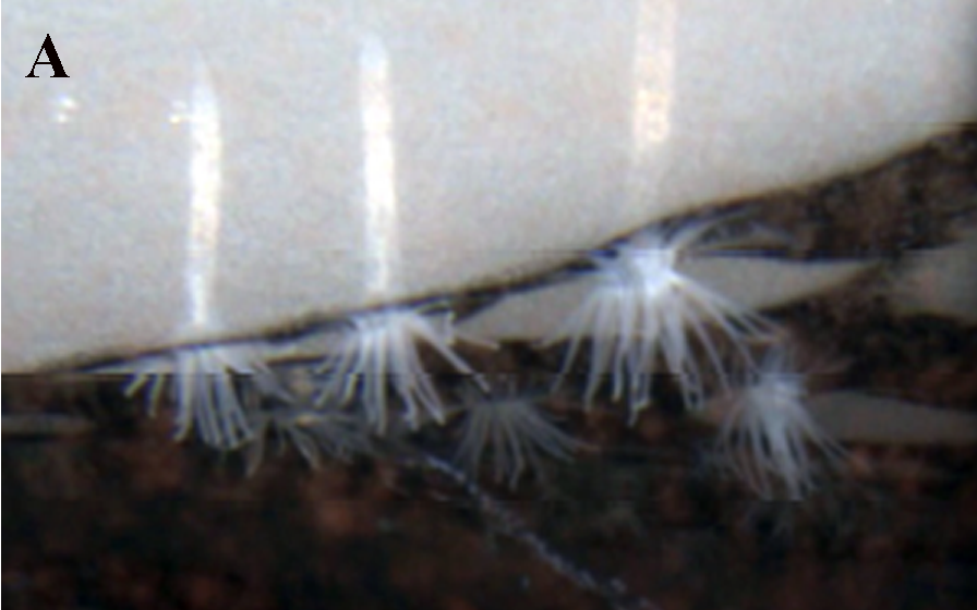 Edwardsiella andrillae hanging under the ice in its natural enviroment