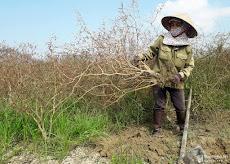 Vựa rau gia vị ở Nghệ An thất thu do mưa nắng thất thường