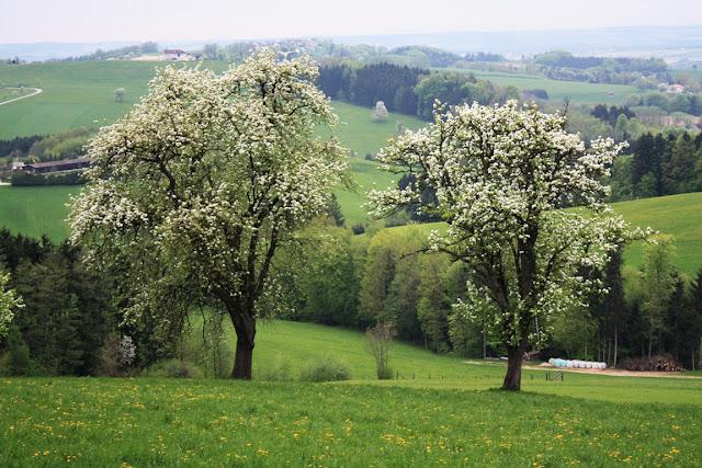 Die Jahrhunderte alten Birnbäume - schön für ein Genuss Wochenende im Mostviertel