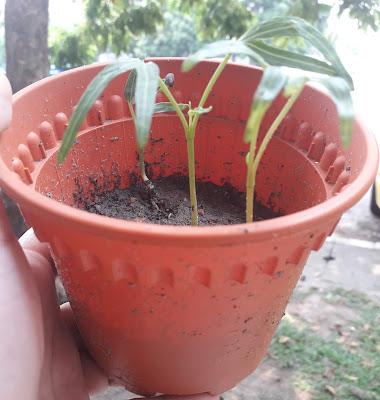Tanam Pokok Kangkung Dalam Bekas