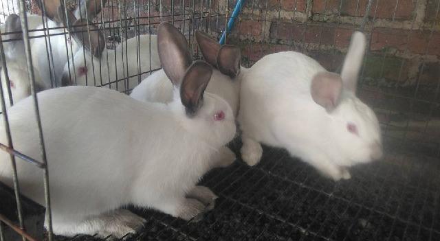 No hay en Yucatán casos de Enfermedad Hemorrágica Viral de los Conejos tipo 2 (EHVC2)