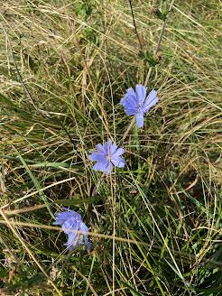 [Asteraceae] Cichorium inthybus - Chicory, Cornflower (Cicoria selvatica)
