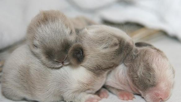 Cara Merawat Kelinci Yang Baru Lahir