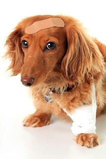 cães escondem a dor