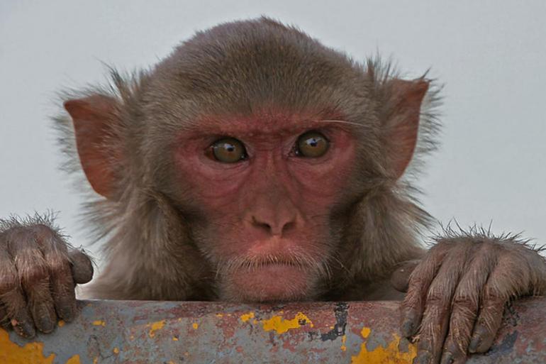 الفيروس القردى b,هل الفيروس معدي,فيروس مولاسكم,الفيروس السحائي,الفيروس الجديد,الفيروس c