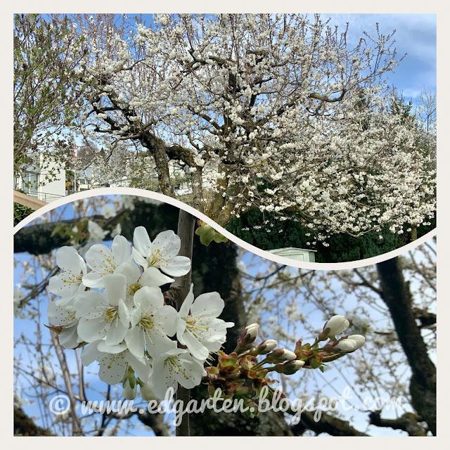 Weiss blühender Baum im Frühling
