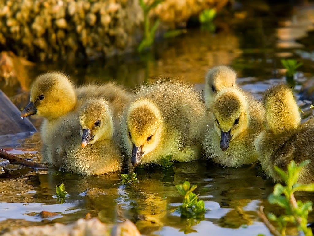 Funny Animals: Cute Ducklings Funny Images