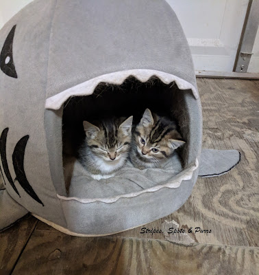 2 cute kittens in a shark shaped cat bed.