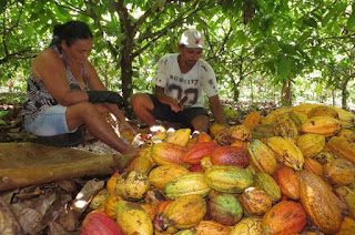 CHOCOLATE FORESTS: CAN COCOA HELP RESTORE THE AMAZON?