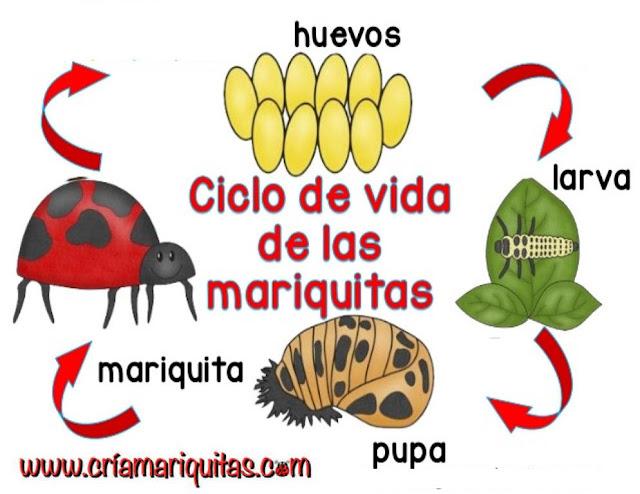 ciclo-mariquita