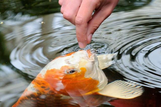 5 Cara Menjinakan Ikan Koi Agar Mudah Di Hand Feeding