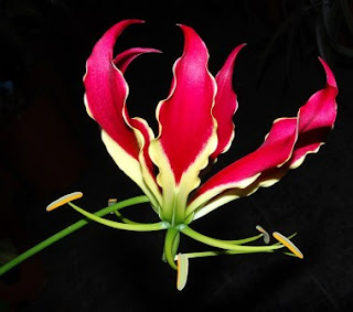 7. Gloriosa ($6 - $10 per bunga)