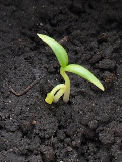 Первые ростки перцев