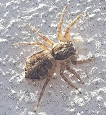 Araña saltarina (Menemerus semilimbatus)