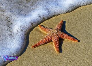 Contoh Hewan Avertebrata Bintang Laut