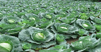 https://economicfinancialpoliticalandhealth.blogspot.com/2017/04/can-cabbage-is-able-to-prevent-growth.html