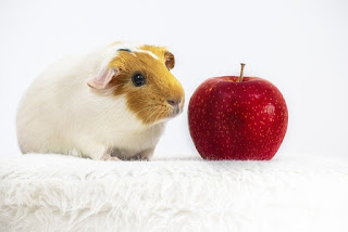 can guinea pigs eat apple ?