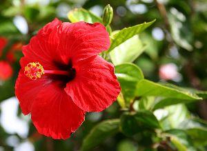 गुड़हल के फूल व पत्तों के फायदे - Gudhal ke fayde in Hindi